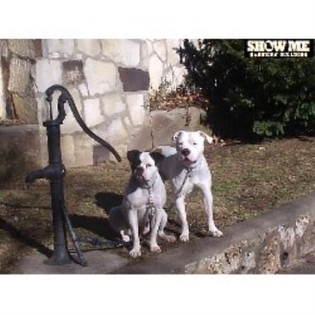 Show-Me Classic American Bulldogs, American Bulldog Breeder in