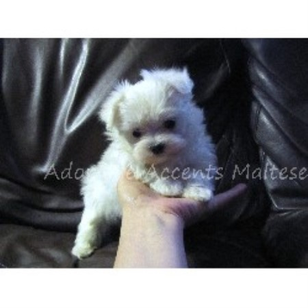 Vizsla Puppies For Sale In Virginia Beach