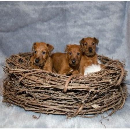 Irish Terrier Breeders...