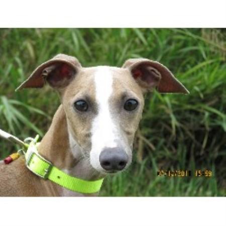 Nebraska andamp; Iowa Italian Greyhound Rescue Shelter Club
