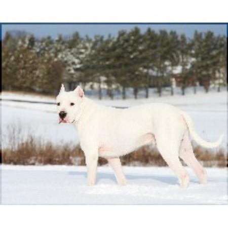 Rsol Dogos, Dogo Argentino Breeder in Bruce, Wisconsin
