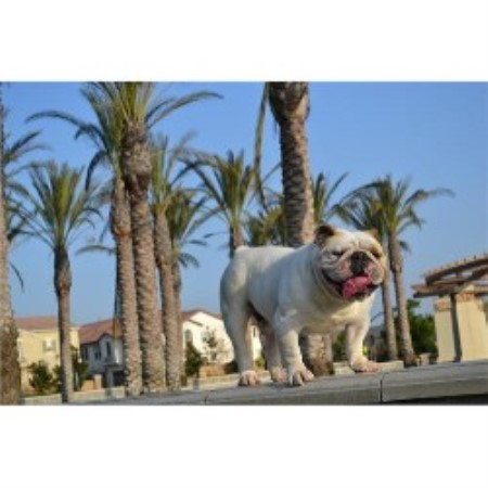 Inland Empire Bulldogs English Bulldog Breeder In Fontana California