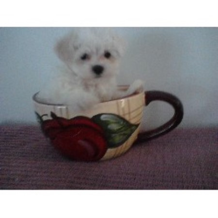 Maltese breeder Two Rivers 21359