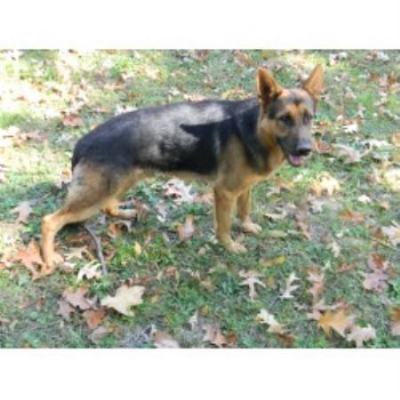Daniels German Shepherds German Shepherd Dog Breeder In Central