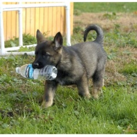 Lindesfarne, German Shepherd Dog Breeder in Seville, Ohio