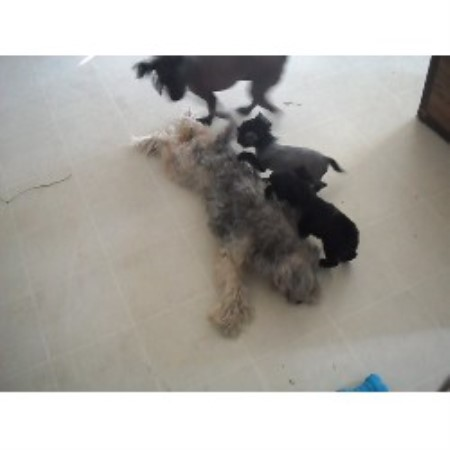 Epic Cresteds, Chinese Crested Breeder in Dunnellon, Florida