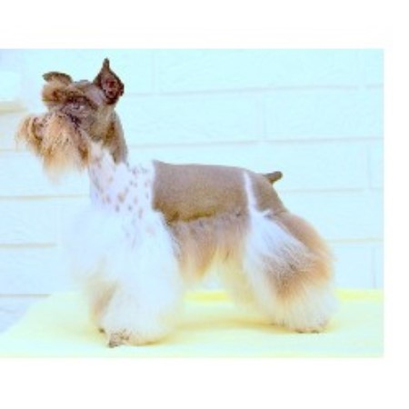 Miniature Schnauzer breeder Saint James City 21406