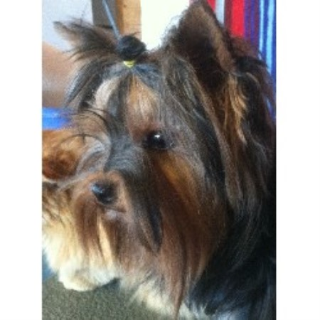 Yorkshire Terrier breeder Merced 21426