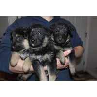 Yola - German Shepherd Dog Breeder