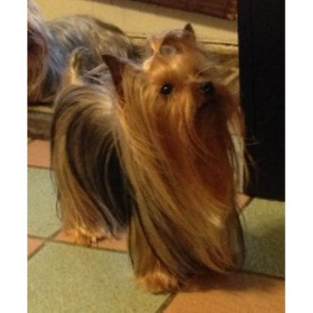 Yorkshire Terrier Stud 21454