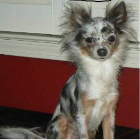 Pet Shack Chihuahuas Chihuahua Breeder In Winnsboro South Carolina