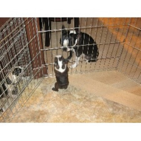 Chapman Boston Terriers Boston Terrier Breeder In North Bay Ontario