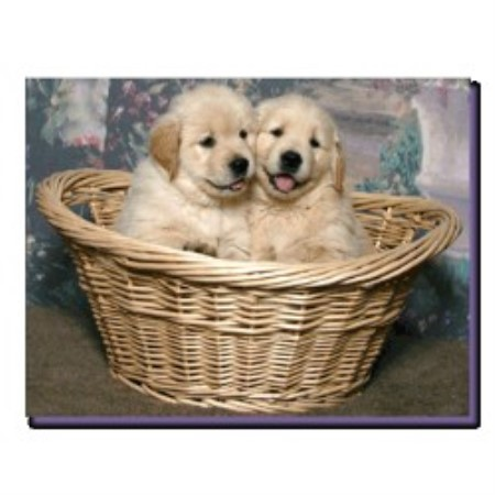 Golden Retriever breeder Duncansville 21553