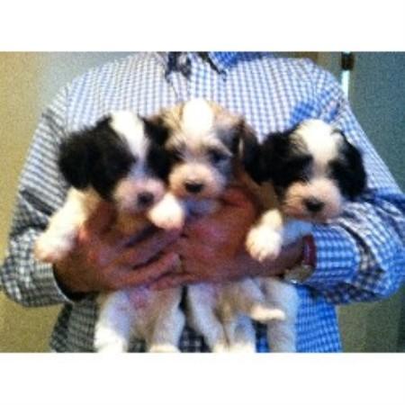 Havanese Dog Breeders In Nova Scotia | Dog Breeds Picture
