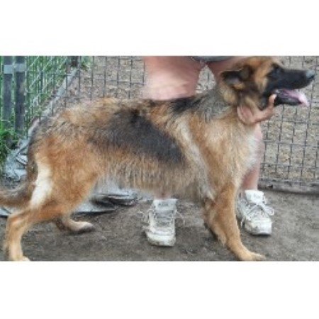 German Shepherd Dog Breeder 21627
