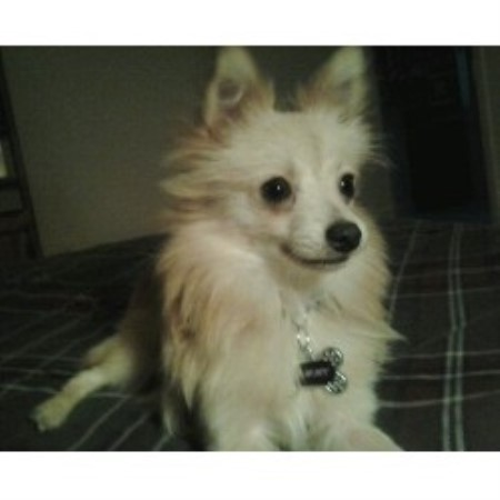Pomeranian breeder Grove City 21634