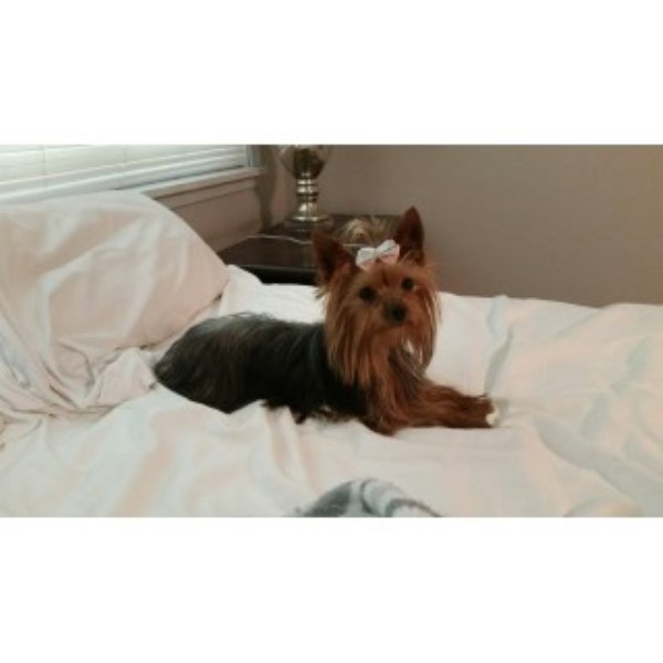 Pics Photos - Yorkshire Terrier Breeders Page 7