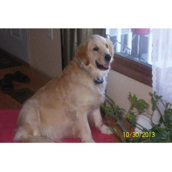 AKC Golden Retriever Puppies, Golden Retriever Breeder in