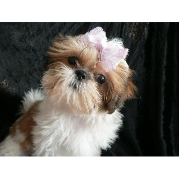 Glamorous Shih Tzu Shih Tzu Breeder In Mechanicstown Ohio
