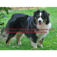 Wine Country Mini Aussies - Miniature Australian Shepherd Stud CA