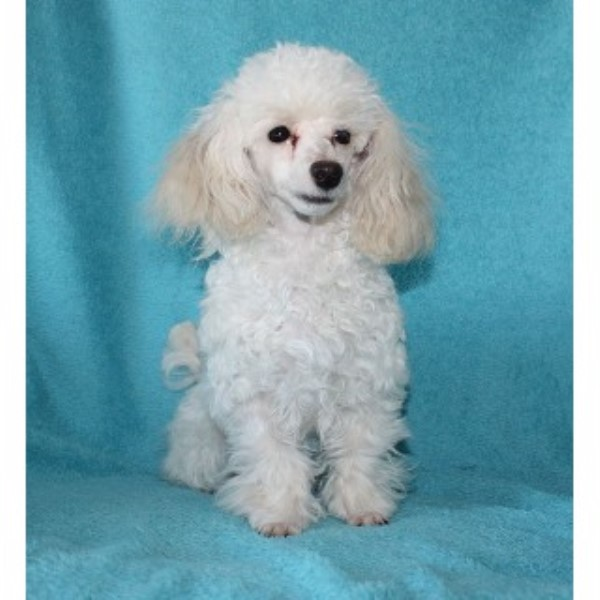 Jodina Poodle Toy Breeder In Findlay Ohio