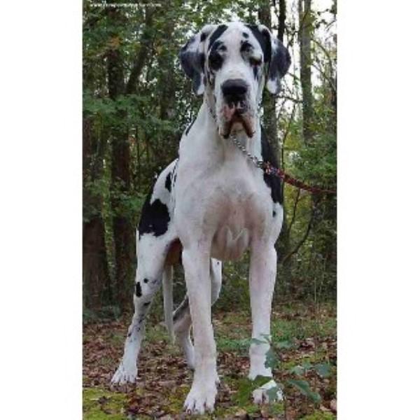 Great Dane Service Dog For Sale