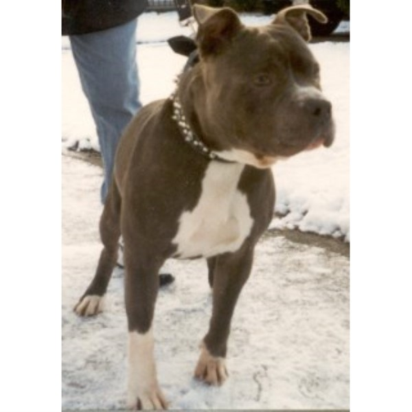 Pack of Pitts Kennels, American Pit Bull Terrier Breeder in