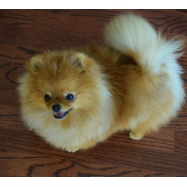 pomeranian oklahoma oklahoma dog breeders puppies for sale autos post 394