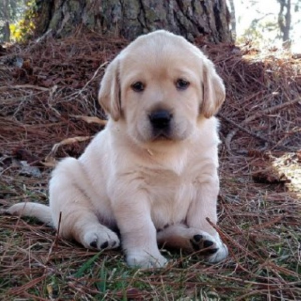 Labrador Retriever Breeder 20039