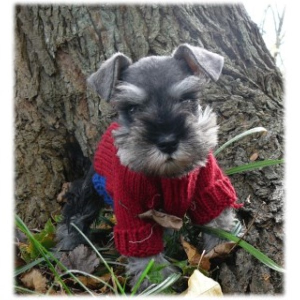Cathys Miniature Schnauzers Miniature Schnauzer Breeder In London