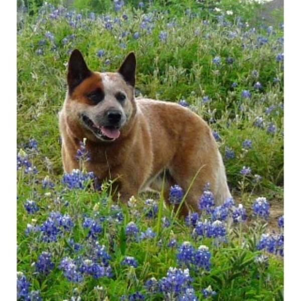 Australian cattle dog blue heeler red heeler breeders in texas