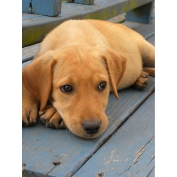 Labrador Retriever breeder Missouri City 24923