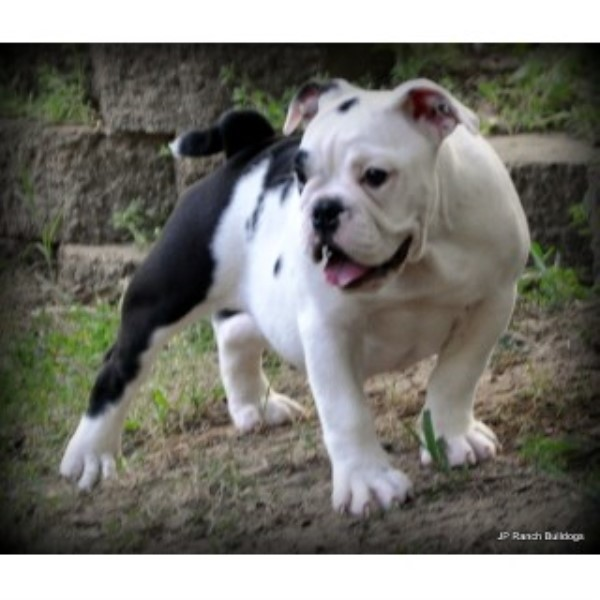 English Bulldog breeder Conway 23831
