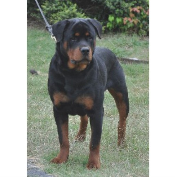 German Rottweiler Available For Stud Rottweiler Stud In San Antonio