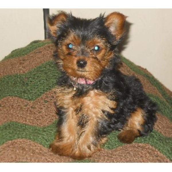 Small Dog Breeders Nc