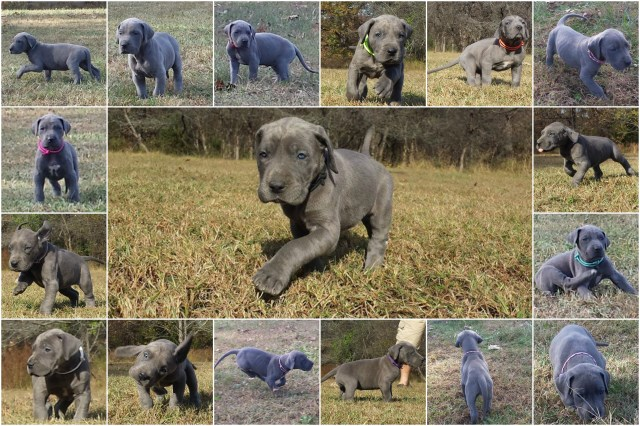 Katie Sharpe, Great Dane Breeder in Sunrise Beach, Missouri