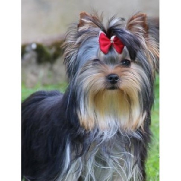 Medallion Yorkies Yorkshire Terrier Breeder In Huntsville