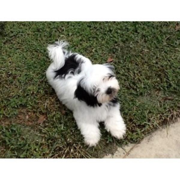 yuppy puppy havanese  havanese breeder in stuart  florida
