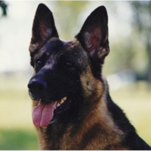 German Shepherd Dog Breeder in Alberta