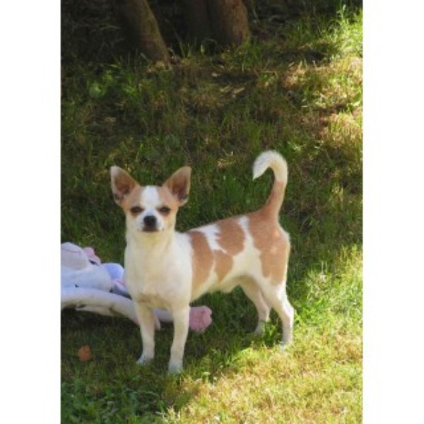 Akc Whimsey Folly Chihuahuas Chihuahua Breeder In