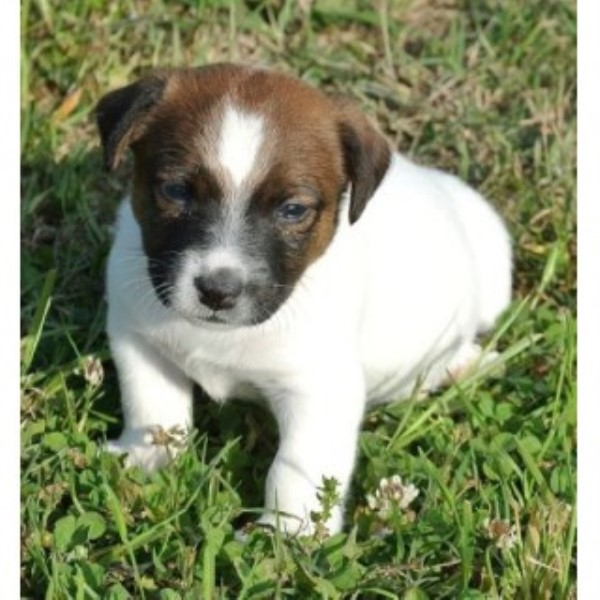 Snow Creek Jack Russell