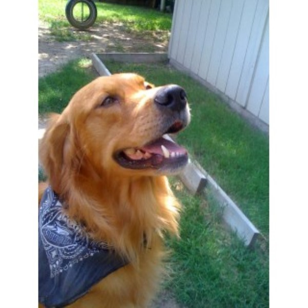 Golden Retriever breeder Bedford 22461