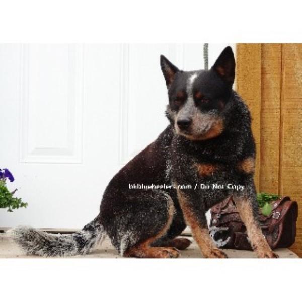 ... Dog (Blue Heeler, Red Heeler) Breeders in Texas   FreeDogListings