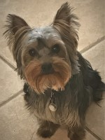 Larry Gill - Yorkshire Terrier Stud