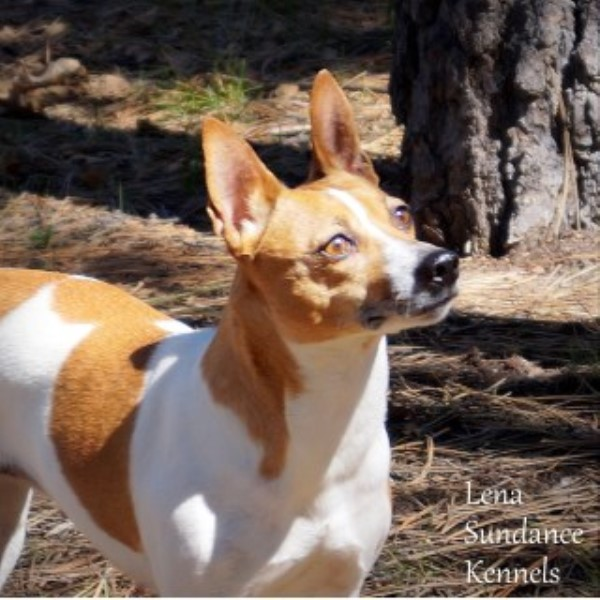 Rat Terrier breeder Pinetop/lakeside 15774