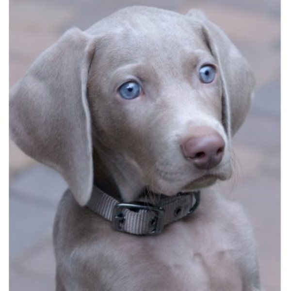 weimaraner puppies for sale