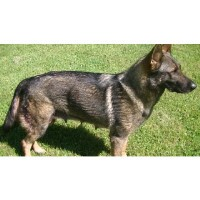 Dach Haus German Shepherds