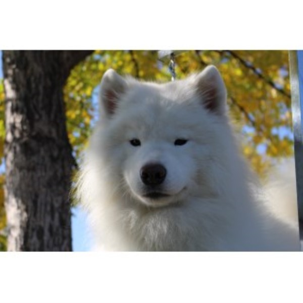picture from Long Run Samoyeds a Samoyed breeder