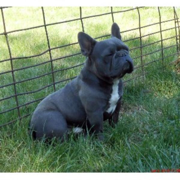 Gitane French Bulldogs French Bulldog Breeder In Linocln Nebraska