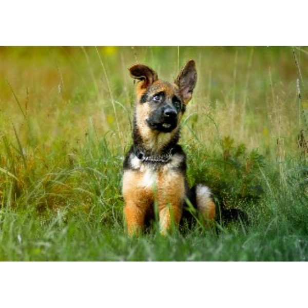 German Shepherd Dog breeder Bangor 22065